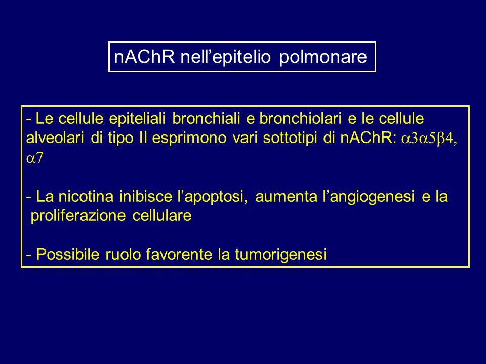 - Le cellule epiteliali bronchiali e bronchiolari e le cellule alveolari di tipo II esprimono vari sottotipi di nAChR: - La nicotina inibisce lapoptos