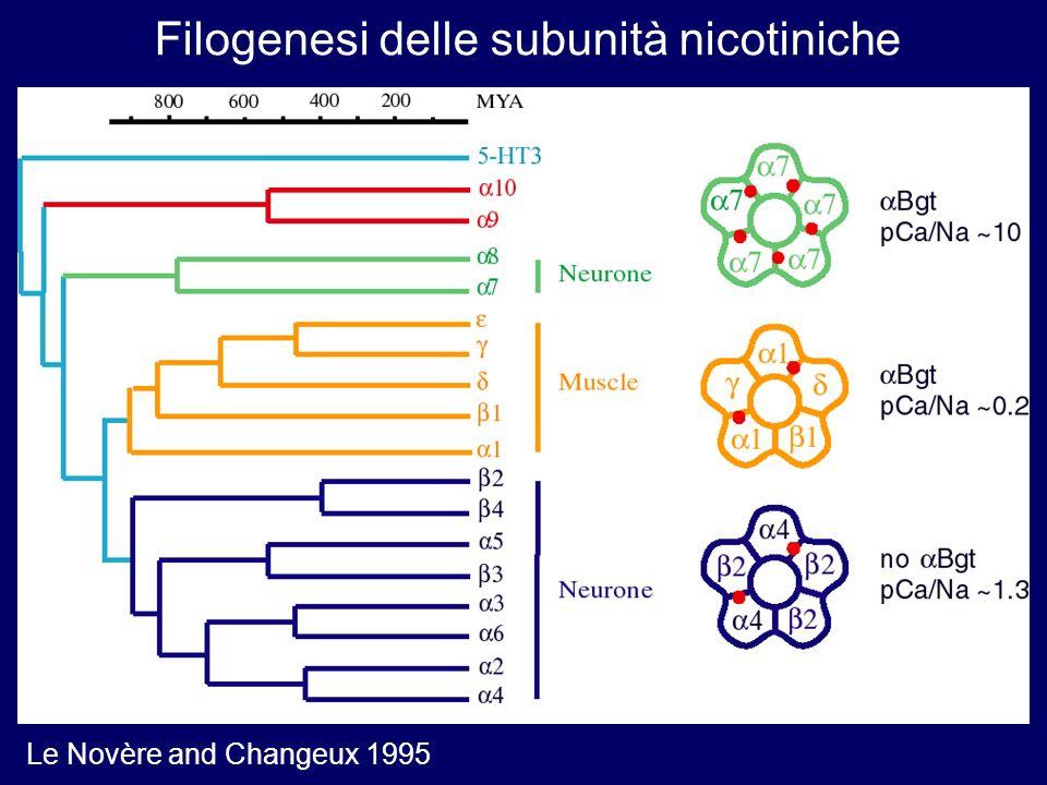 Filogenesi delle subunità nicotiniche Le Novère and Changeux 1995