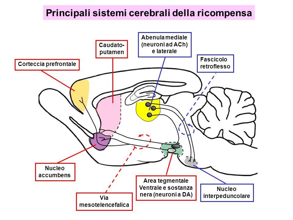 Area tegmentale Ventrale e sostanza nera (neuroni a DA) Corteccia prefrontale Caudato- putamen Nucleo accumbens Fascicolo retroflesso Abenula mediale