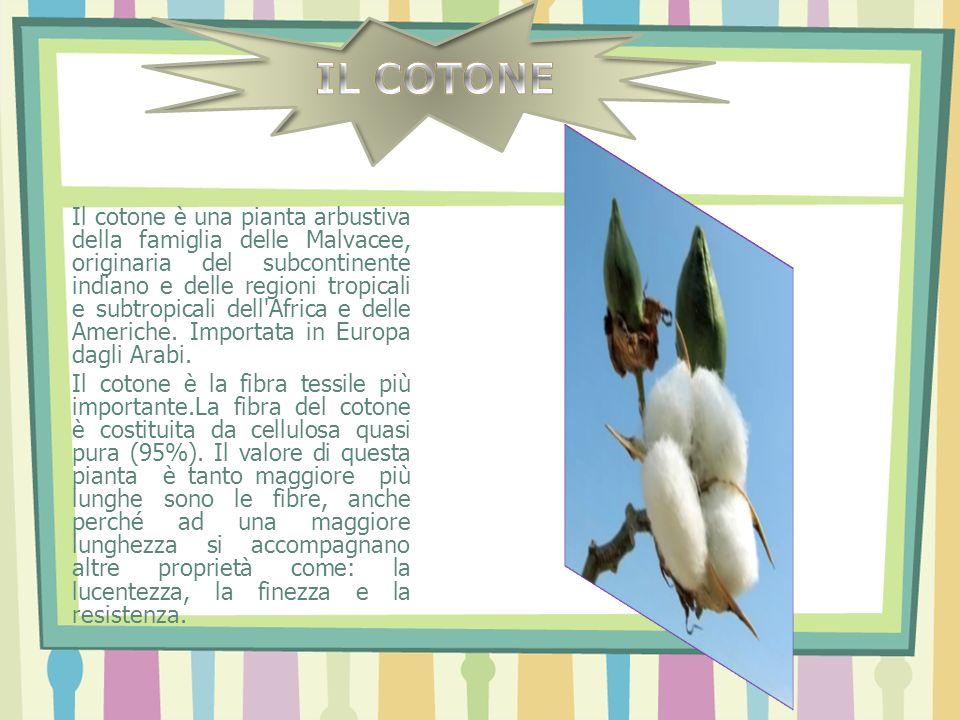 Il cotone è una pianta arbustiva della famiglia delle Malvacee, originaria del subcontinente indiano e delle regioni tropicali e subtropicali dell'Afr