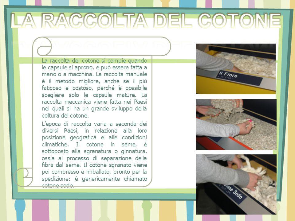La raccolta del cotone si compie quando le capsule si aprono, e può essere fatta a mano o a macchina. La raccolta manuale è il metodo migliore, anche