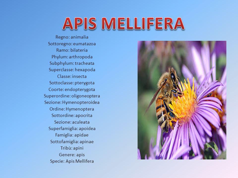 Le api costituiscono una società di piccoli animali perfettamente organizzati, regolata da severe leggi di ordine, concordia ed economia.