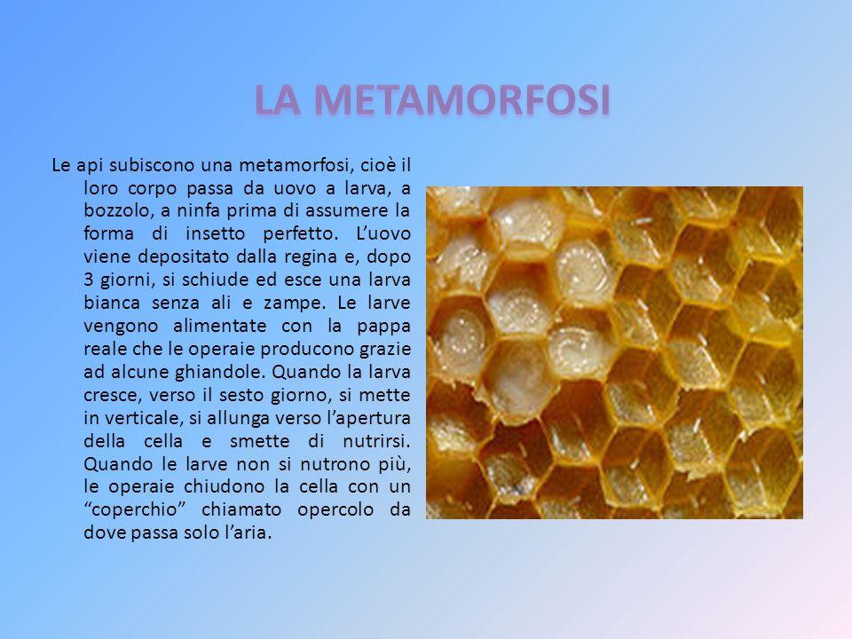 Le api subiscono una metamorfosi, cioè il loro corpo passa da uovo a larva, a bozzolo, a ninfa prima di assumere la forma di insetto perfetto. Luovo v