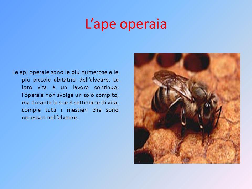 Lape operaia Le api operaie sono le più numerose e le più piccole abitatrici dellalveare. La loro vita è un lavoro continuo; loperaia non svolge un so