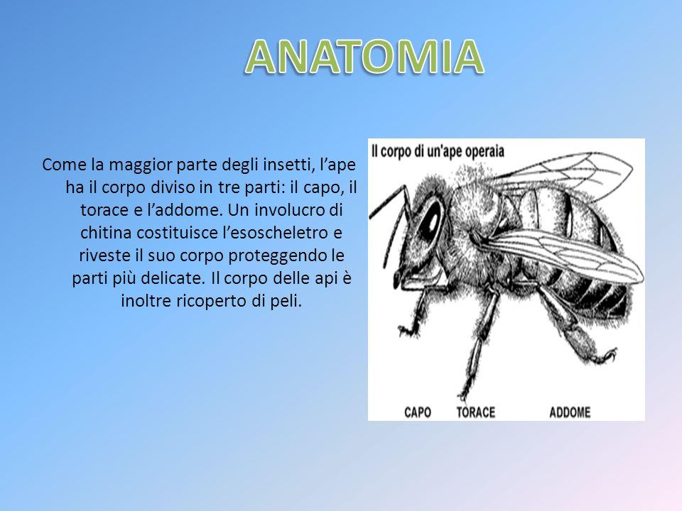 Come la maggior parte degli insetti, lape ha il corpo diviso in tre parti: il capo, il torace e laddome. Un involucro di chitina costituisce lesoschel