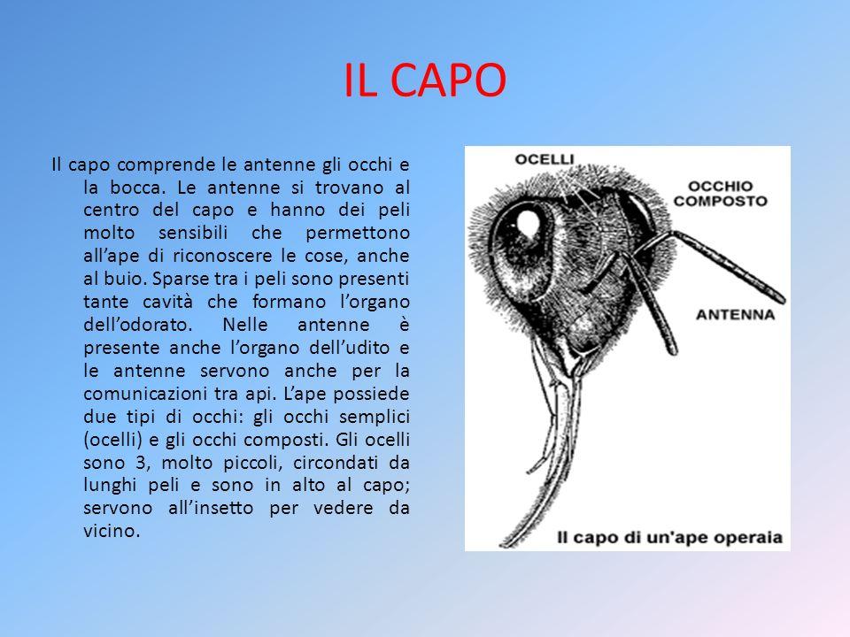 IL CAPO Il capo comprende le antenne gli occhi e la bocca. Le antenne si trovano al centro del capo e hanno dei peli molto sensibili che permettono al