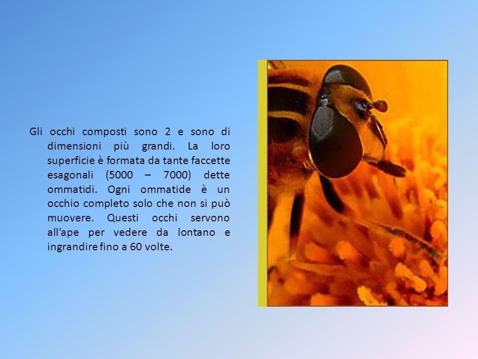 Lape operaia Le api operaie sono le più numerose e le più piccole abitatrici dellalveare.