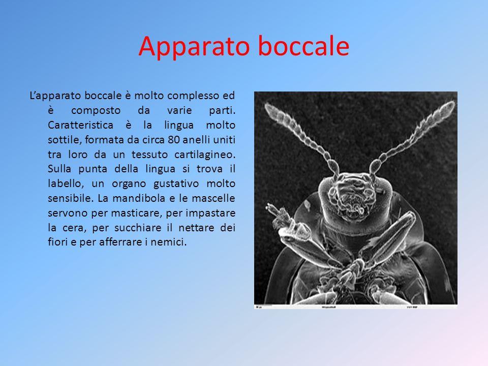 Il linguaggio più interessante è quello scoperto dallo zoologo austriaco Karl Von Frish e noto come danza delle api.