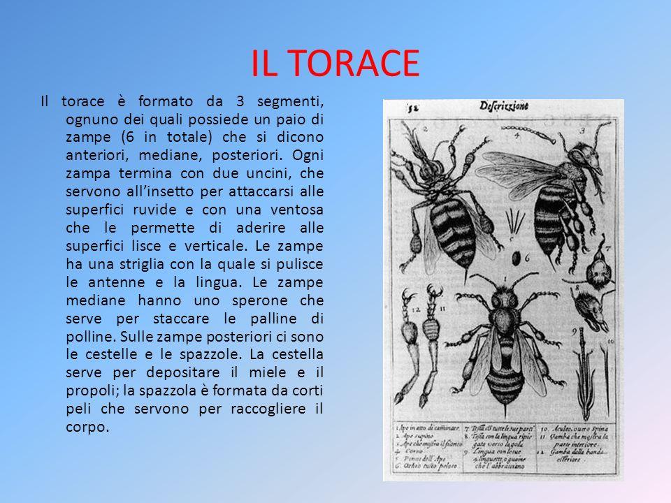 IL TORACE Il torace è formato da 3 segmenti, ognuno dei quali possiede un paio di zampe (6 in totale) che si dicono anteriori, mediane, posteriori. Og