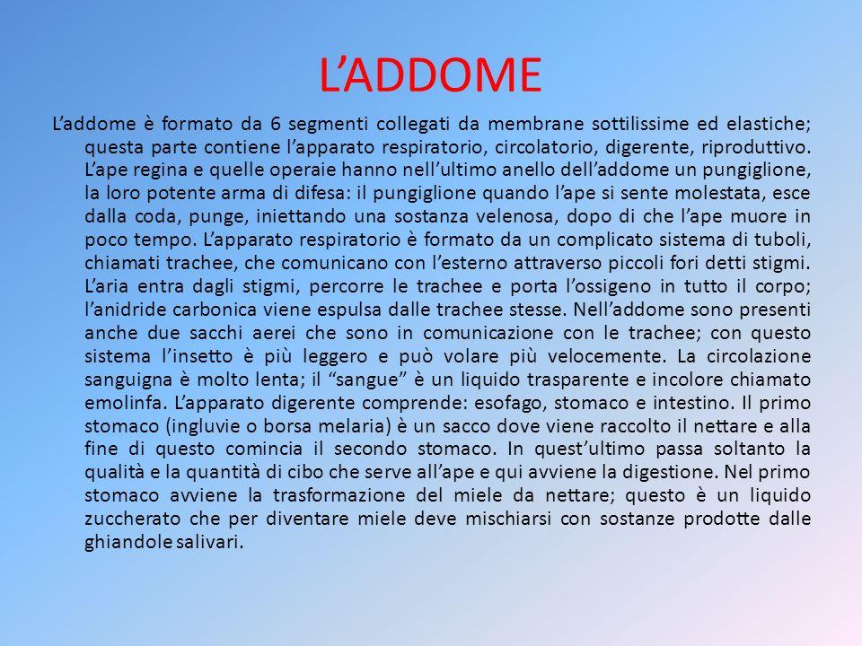 LADDOME Laddome è formato da 6 segmenti collegati da membrane sottilissime ed elastiche; questa parte contiene lapparato respiratorio, circolatorio, d