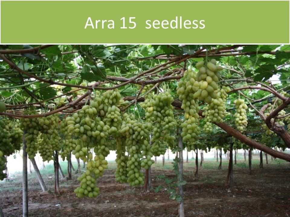 Arra 15 seedless