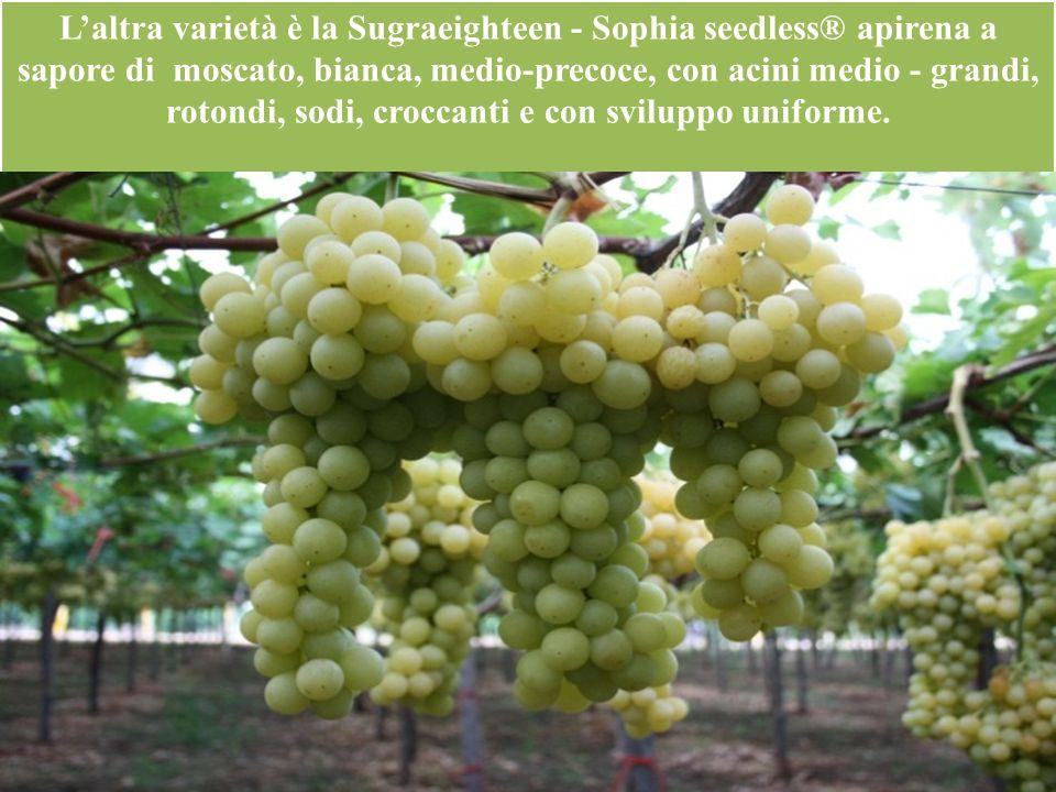 Laltra varietà è la Sugraeighteen - Sophia seedless® apirena a sapore di moscato, bianca, medio-precoce, con acini medio - grandi, rotondi, sodi, croc
