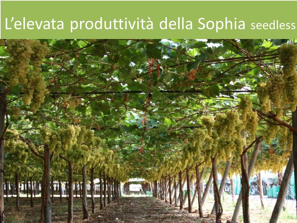 Lelevata produttività della Sophia seedless