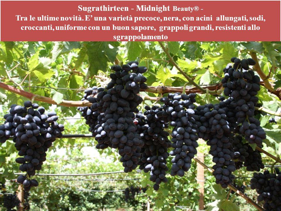 Sugrathirteen - Midnight Beauty® - Tra le ultime novità. E una varietà precoce, nera, con acini allungati, sodi, croccanti, uniforme con un buon sapor