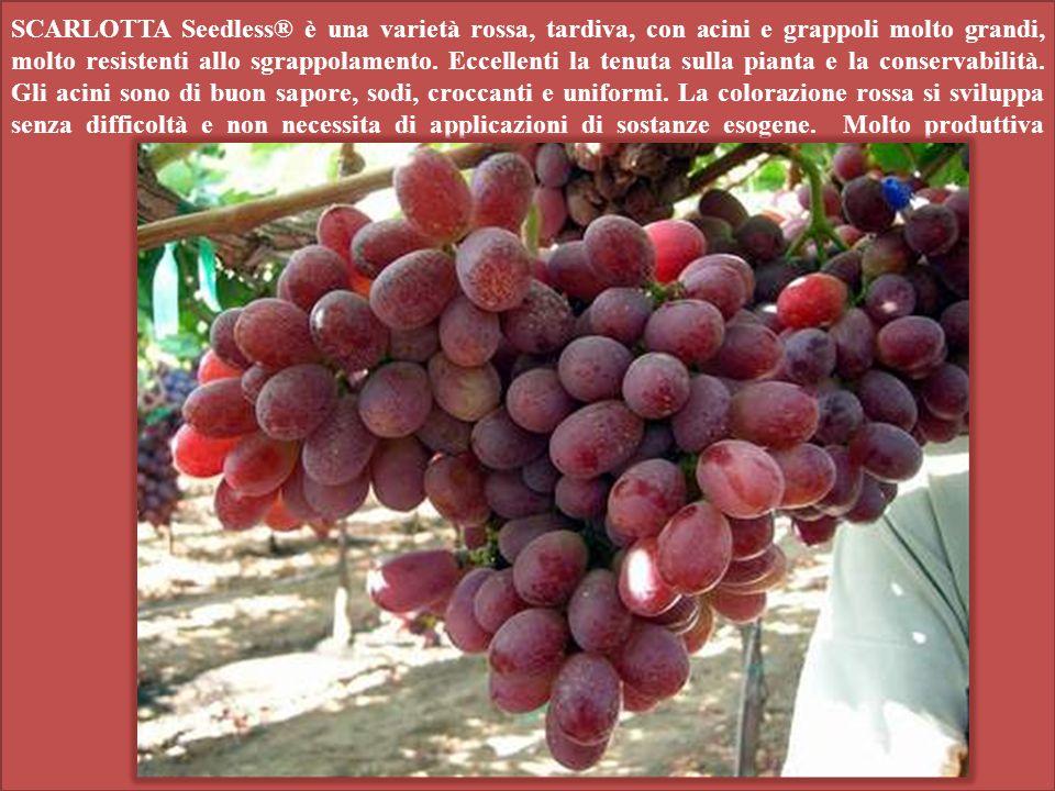 SCARLOTTA Seedless® è una varietà rossa, tardiva, con acini e grappoli molto grandi, molto resistenti allo sgrappolamento. Eccellenti la tenuta sulla