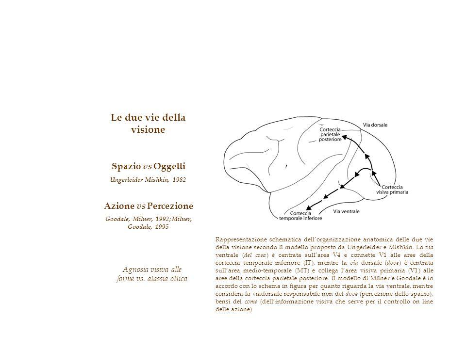 Le due vie della visione Spazio vs Oggetti Ungerleider Mishkin, 1982 Azione vs Percezione Goodale, Milner, 1992; Milner, Goodale, 1995 Agnosia visiva