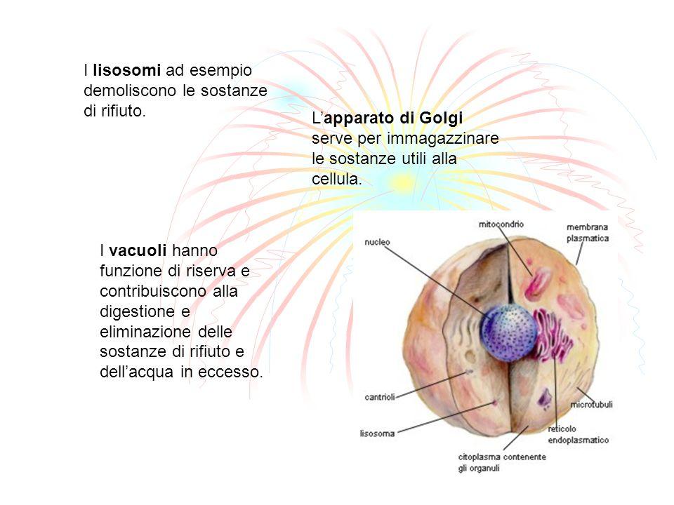 I lisosomi ad esempio demoliscono le sostanze di rifiuto. Lapparato di Golgi serve per immagazzinare le sostanze utili alla cellula. I vacuoli hanno f