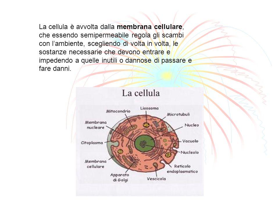 La cellula è avvolta dalla membrana cellulare, che essendo semipermeabile regola gli scambi con lambiente, scegliendo di volta in volta, le sostanze n