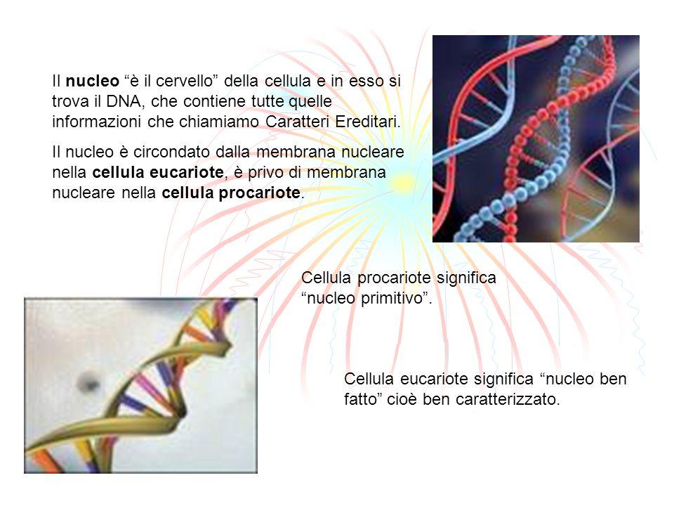 Il nucleo è il cervello della cellula e in esso si trova il DNA, che contiene tutte quelle informazioni che chiamiamo Caratteri Ereditari. Il nucleo è
