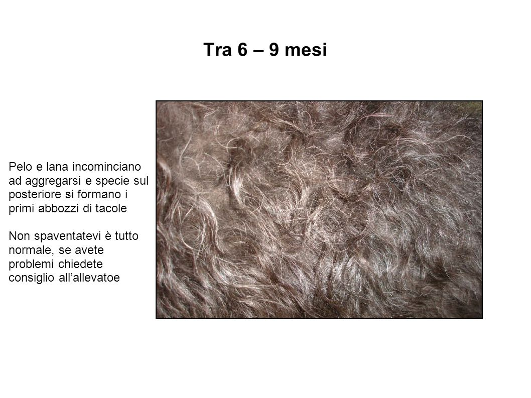 Tra 6 – 9 mesi Pelo e lana incominciano ad aggregarsi e specie sul posteriore si formano i primi abbozzi di tacole Non spaventatevi è tutto normale, s