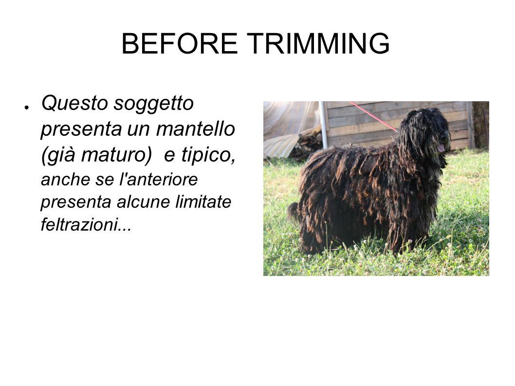 BEFORE TRIMMING Questo soggetto presenta un mantello (già maturo) e tipico, anche se l'anteriore presenta alcune limitate feltrazioni...