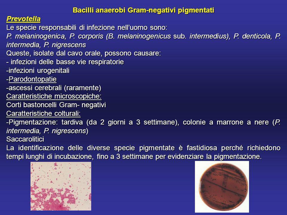 Bacilli anaerobi Gram-negativi pigmentati Prevotella Le specie responsabili di infezione nelluomo sono: P.
