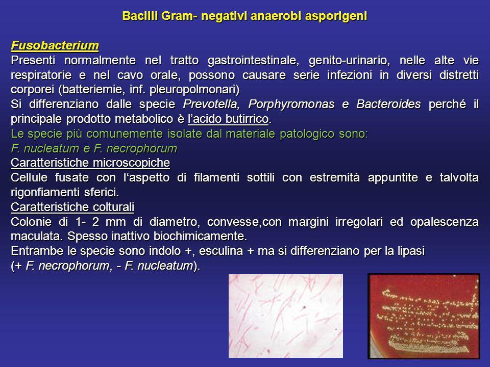 Bacilli Gram- negativi anaerobi asporigeni Fusobacterium Presenti normalmente nel tratto gastrointestinale, genito-urinario, nelle alte vie respiratorie e nel cavo orale, possono causare serie infezioni in diversi distretti corporei (batteriemie, inf.