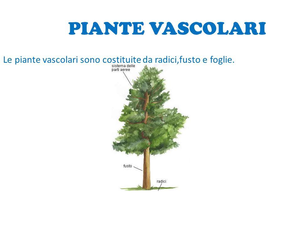 PIANTE VASCOLARI Le piante vascolari sono costituite da radici,fusto e foglie.