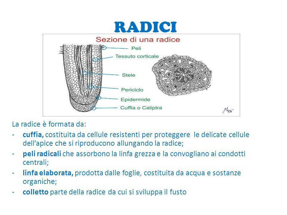 RADICI La radice è formata da: -cuffia, costituita da cellule resistenti per proteggere le delicate cellule dellapice che si riproducono allungando la radice; -peli radicali che assorbono la linfa grezza e la convogliano ai condotti centrali; -linfa elaborata, prodotta dalle foglie, costituita da acqua e sostanze organiche; -colletto parte della radice da cui si sviluppa il fusto