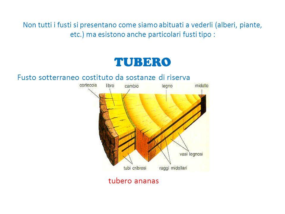 Non tutti i fusti si presentano come siamo abituati a vederli (alberi, piante, etc.) ma esistono anche particolari fusti tipo : TUBERO Fusto sotterraneo costituto da sostanze di riserva tubero ananas