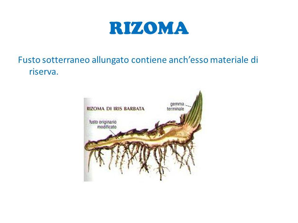 RIZOMA Fusto sotterraneo allungato contiene anchesso materiale di riserva.