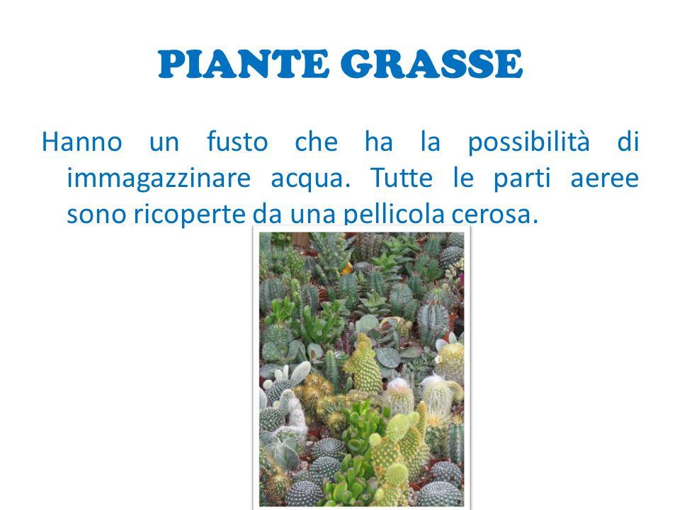 PIANTE GRASSE Hanno un fusto che ha la possibilità di immagazzinare acqua.