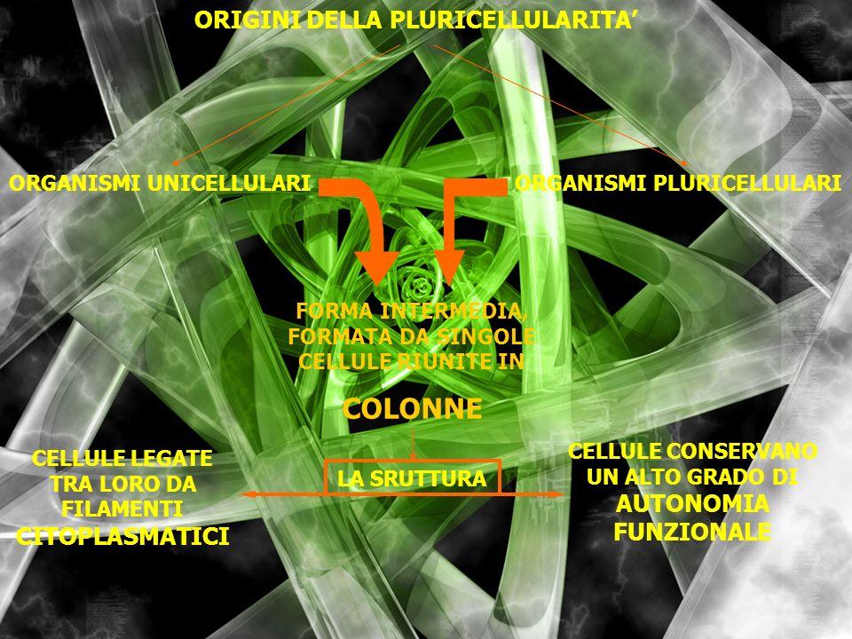 ORIGINI DELLA PLURICELLULARITA ORGANISMI UNICELLULARIORGANISMI PLURICELLULARI FORMA INTERMEDIA, FORMATA DA SINGOLE CELLULE RIUNITE IN COLONNE LA SRUTT