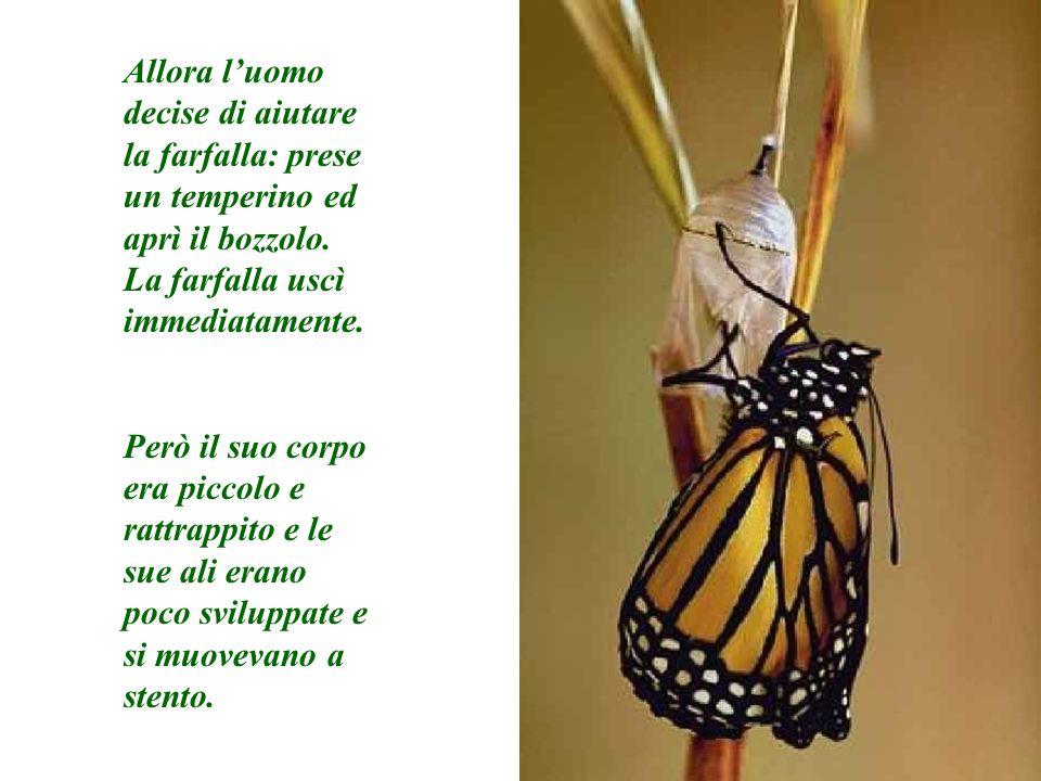 Allora luomo decise di aiutare la farfalla: prese un temperino ed aprì il bozzolo. La farfalla uscì immediatamente. Però il suo corpo era piccolo e ra