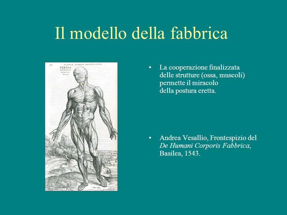 Il modello della fabbrica La cooperazione finalizzata delle strutture (ossa, muscoli) permette il miracolo della postura eretta. Andrea Vesallio, Fron