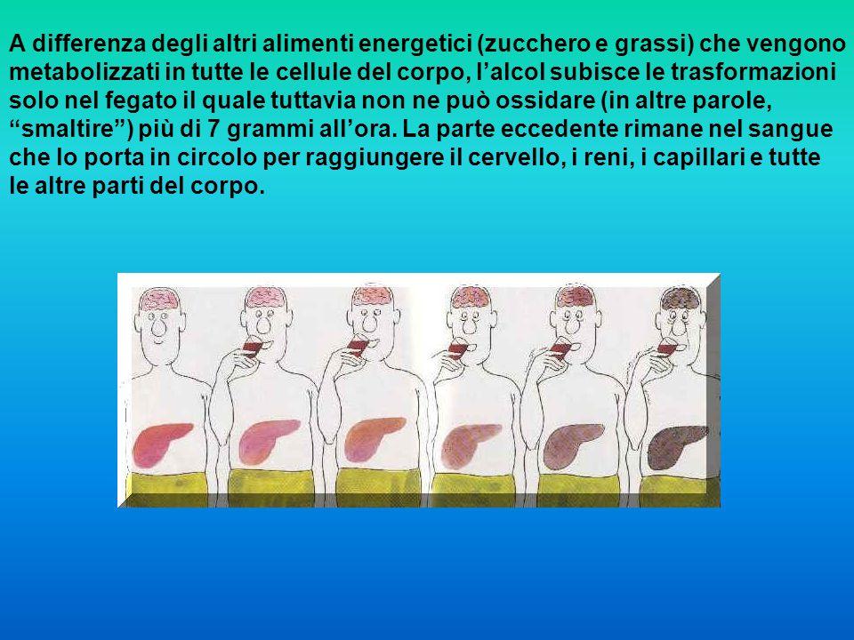 A differenza degli altri alimenti energetici (zucchero e grassi) che vengono metabolizzati in tutte le cellule del corpo, lalcol subisce le trasformaz