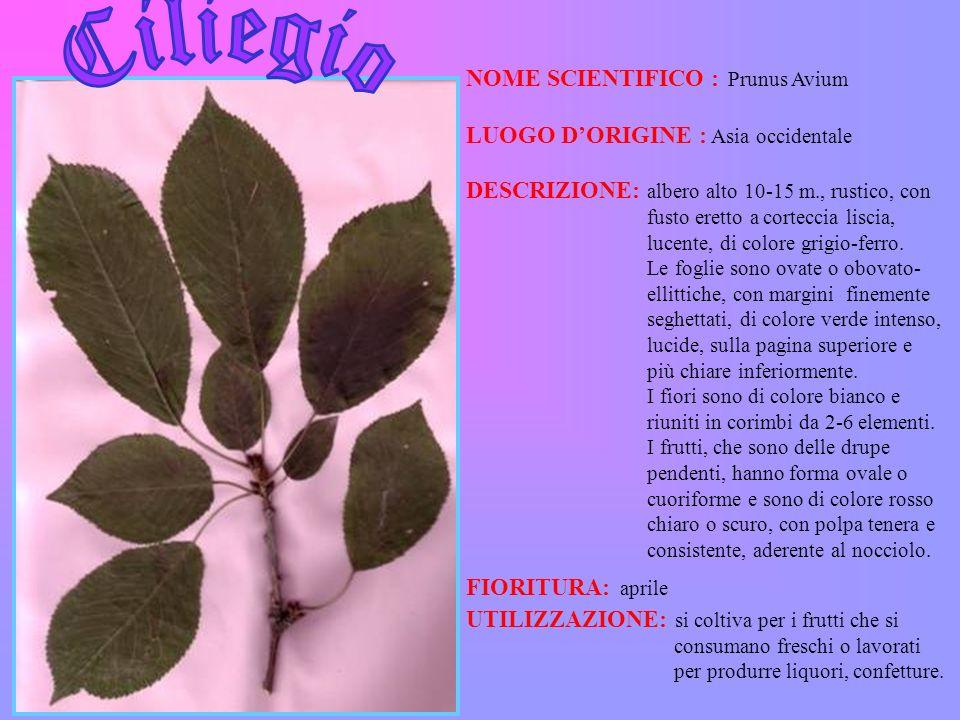 NOME SCIENTIFICO : Prunus Avium LUOGO DORIGINE : Asia occidentale DESCRIZIONE: albero alto 10-15 m., rustico, con fusto eretto a corteccia liscia, luc