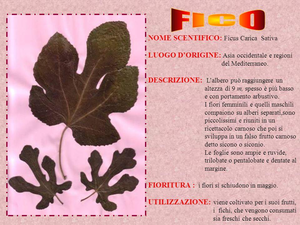NOME SCENTIFICO: Ficus Carica Sativa LUOGO DORIGINE: Asia occidentale e regioni del Mediterraneo. DESCRIZIONE: Lalbero può raggiungere un altezza di 9