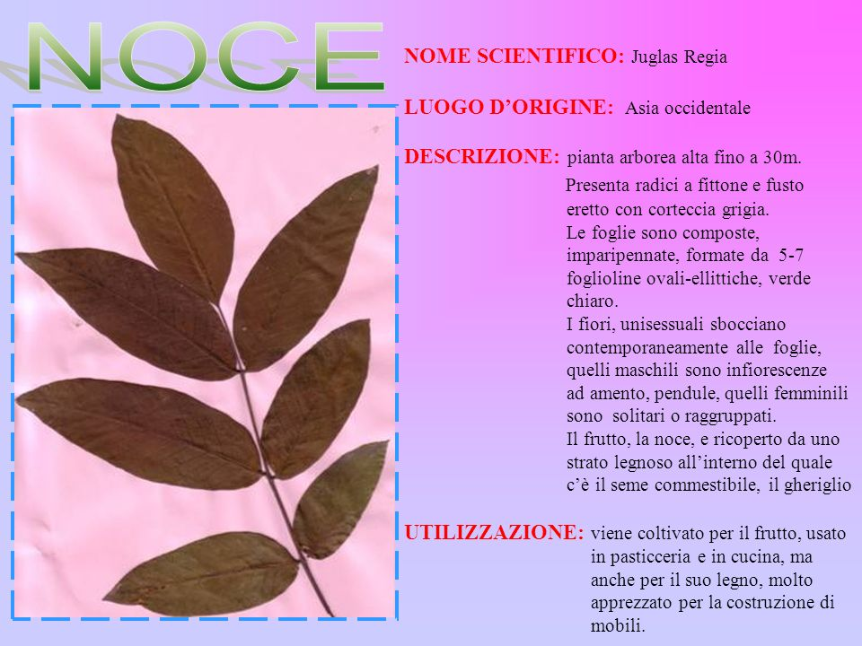 NOME SCIENTIFICO: Juglas Regia LUOGO DORIGINE: Asia occidentale DESCRIZIONE: pianta arborea alta fino a 30m. Presenta radici a fittone e fusto eretto
