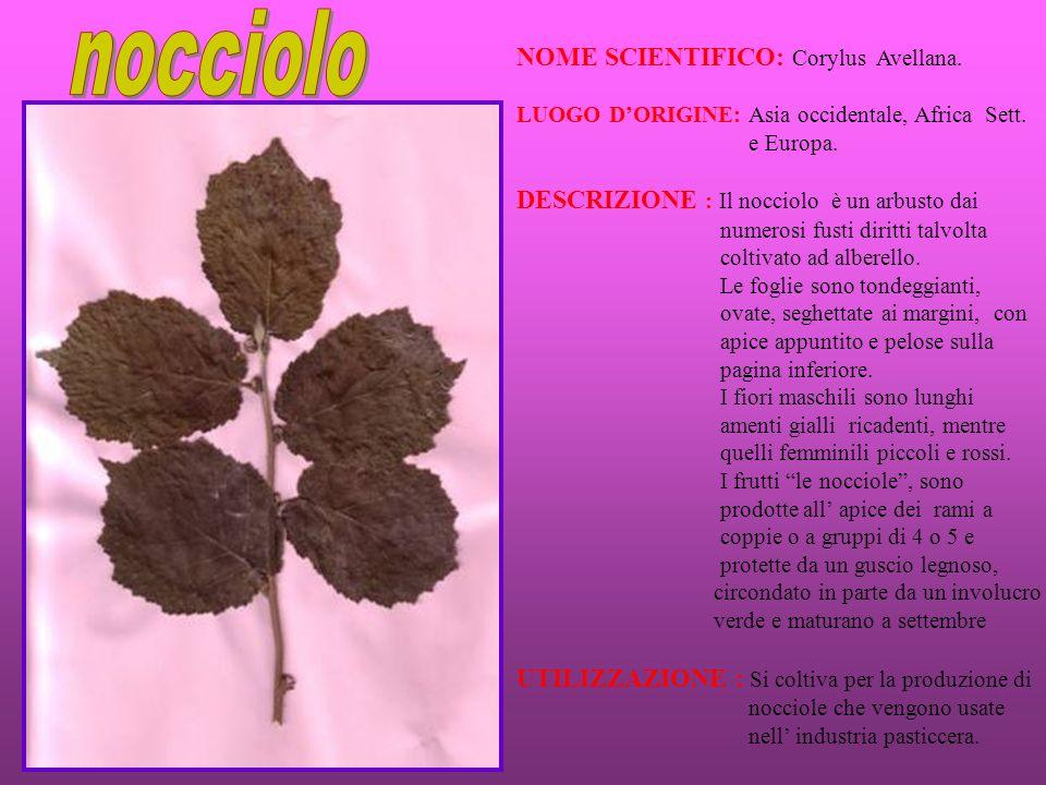 NOME SCIENTIFICO: Corylus Avellana. LUOGO DORIGINE: Asia occidentale, Africa Sett. e Europa. DESCRIZIONE : Il nocciolo è un arbusto dai numerosi fusti