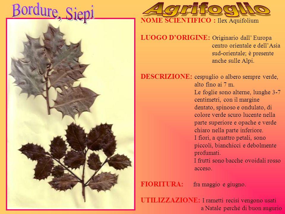 NOME SCIENTIFICO : Ilex Aquifolium LUOGO DORIGINE: Originario dall Europa centro orientale e dellAsia sud-orientale; è presente anche sulle Alpi. DESC