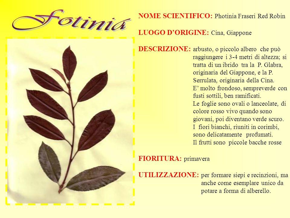 NOME SCIENTIFICO: Photinia Fraseri Red Robin LUOGO DORIGINE: Cina, Giappone DESCRIZIONE: arbusto, o piccolo albero che può raggiungere i 3-4 metri di