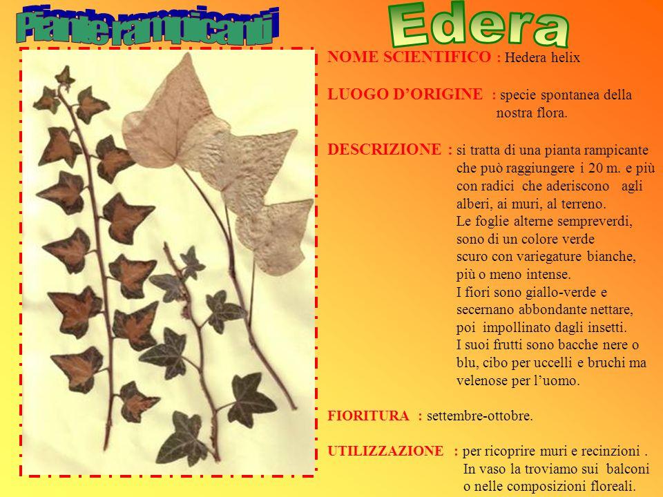 NOME SCIENTIFICO : Hedera helix LUOGO DORIGINE : specie spontanea della nostra flora. DESCRIZIONE : si tratta di una pianta rampicante che può raggiun