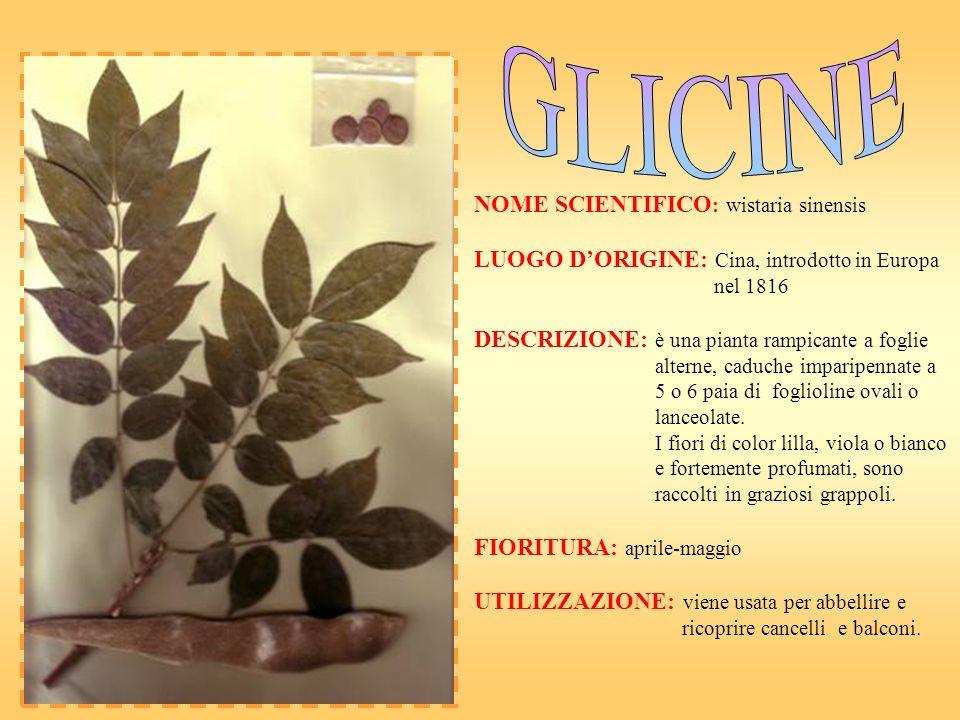 NOME SCIENTIFICO : wistaria sinensis LUOGO DORIGINE: Cina, introdotto in Europa nel 1816 DESCRIZIONE: è una pianta rampicante a foglie alterne, caduch