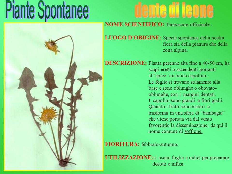 NOME SCIENTIFICO: Taraxacum officinale. LUOGO DORIGINE: Specie spontanea della nostra flora sia della pianura che della zona alpina. DESCRIZIONE: Pian