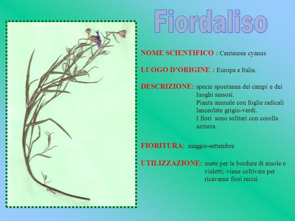 NOME SCIENTIFICO : Centaurea cyanus LUOGO DORIGINE : Europa e Italia. DESCRIZIONE: specie spontanea dei campi e dei luoghi sassosi. Pianta annuale con