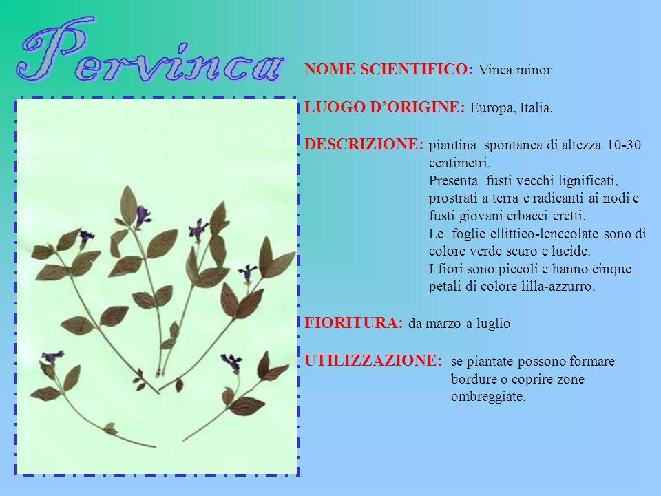 NOME SCIENTIFICO: Vinca minor LUOGO DORIGINE: Europa, Italia. DESCRIZIONE: piantina spontanea di altezza 10-30 centimetri. Presenta fusti vecchi ligni