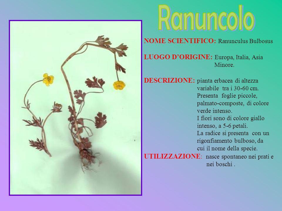 NOME SCIENTIFICO: Ranunculus Bulbosus LUOGO DORIGINE: Europa, Italia, Asia Minore. DESCRIZIONE: pianta erbacea di altezza variabile tra i 30-60 cm. Pr