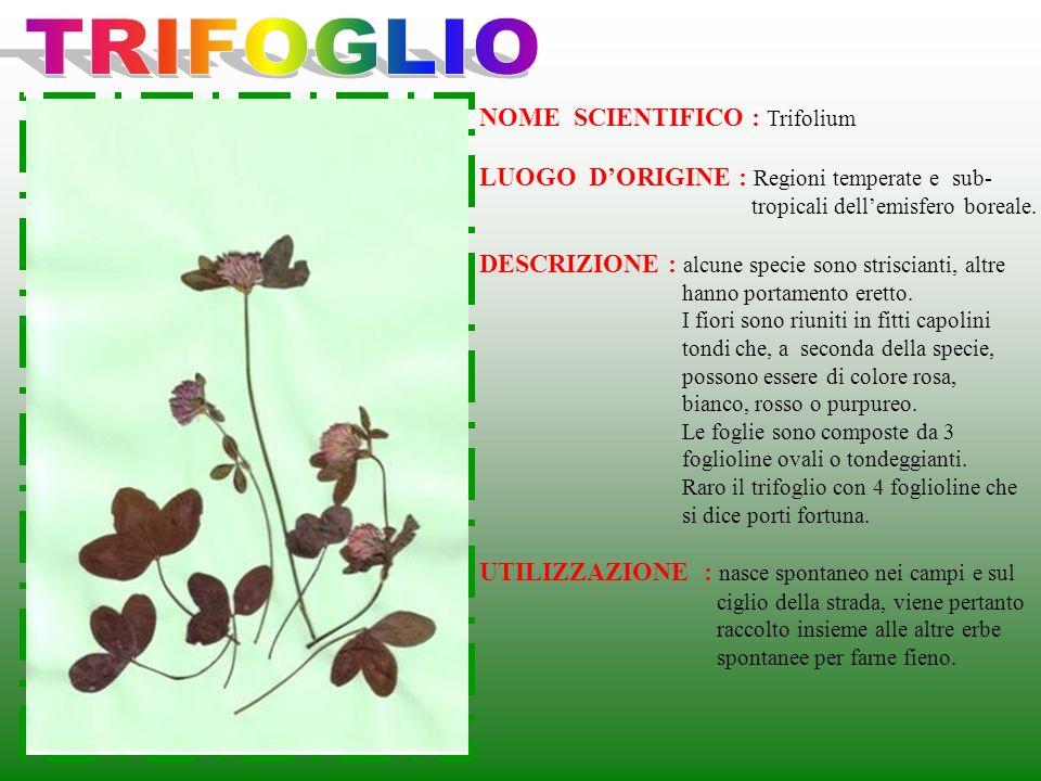 NOME SCIENTIFICO : Trifolium LUOGO DORIGINE : Regioni temperate e sub- tropicali dellemisfero boreale. DESCRIZIONE : alcune specie sono striscianti, a