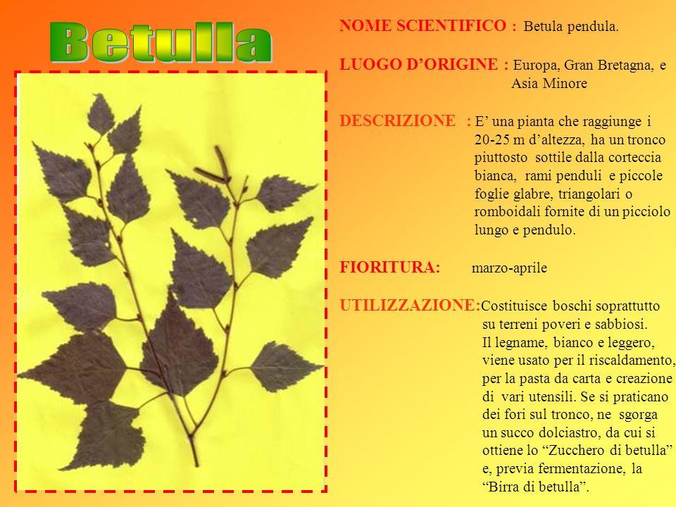 NOME SCIENTIFICO : Betula pendula. LUOGO DORIGINE : Europa, Gran Bretagna, e Asia Minore DESCRIZIONE : E una pianta che raggiunge i 20-25 m daltezza,